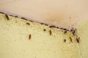Борная кислота как средство борьбы с тараканами